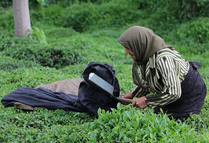 چای ایرانی بهتره یا خارجی