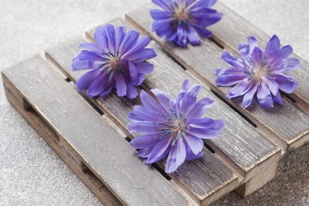 گل کاسنی